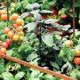 Některé rostliny na sebe působí tak, že se dokážou vzájemně chránit před škůdci či nemocemi.