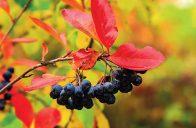 Pro atraktivní podzimní zbarvení listů v různých odstínech červené, žluté, oranžové až vínové barvy se pěstuje temnoplodec planikolistý.