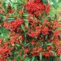 Kromě nízkých nároků na půdu se hlohyně šarlatová může pochlubit barevnými plody a stálezelenými listy.
