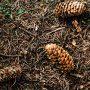 Jehličnatý opad značně okyseluje půdu, která je navíc chudá na živiny. I s tím si musejí rostliny v podrostu poradit.