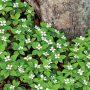 Cornus canadensis - dřín kanadský