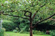 Jabloně v užitkové části zahrady se už pomalu chystají na sklizeň poměrně bohaté úrody.