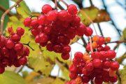 Červené plody dozrávají na podzim.