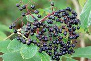 Bez černý vytváří drobné plody na členité třapině.