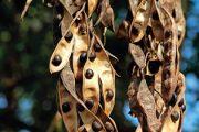 Fazole a štědřenec. Děti rády vylupují semena z lusků. V parcích najdete mnoho dřevin s podobně lákavými, ale jedovatými plody.