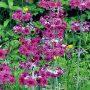 Skvělou rostlinou do vlhčí a živné půdy je prvosenka japonská. Rozkvétá v růžových, bílých a oranžových tónech.