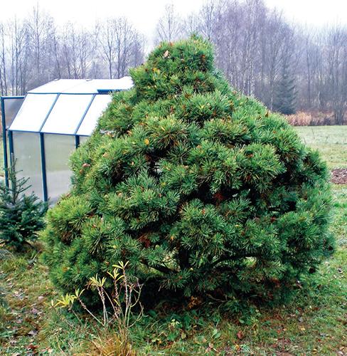Strom na původním stanovišti
