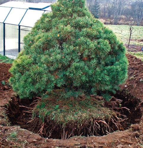 Obkopaná borovice před vyzvednutím