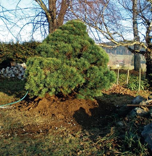 Zavlažování přesazené borovice