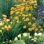 Výsadbu zlatavých odstínů vytvořily krásnoočko velkokvěté, nízké kultivary denivek a plazivá pupalka missourská.
