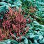 V zimě prožívají jehličnany na zahradě své hvězdné týdny.