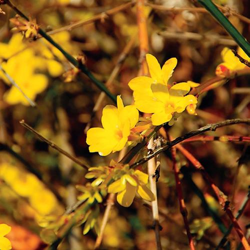 Jasmín nahokvětý s veselými žlutými kvítky a neodolatelně krásnou kalinu bodnanskou s vonnými růžovými květy.