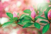 """Azalka patří mezi rostliny, které potřebují """"projít nouzí""""."""