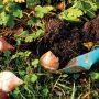 Polovina října je klasický zahradnický termín pro výsadbu tulipánů