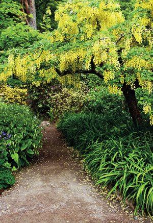 Se svými subtilnějšími rozměry se štědřenec hodí i do menších zahrad.