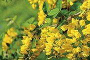 Nejčastěji se štědřenec pěstuje jako vícekmínkový stromek či volně rostoucí keř, v zahradnictvích se ale setkáte i s typem roubovaným na kmínku.