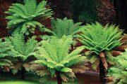 Stromovitá kapradina Dicksonia antarctica, která roste ve vlhkých údolích Tasmánie.