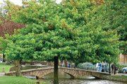 Ambroně jsou poměrně velké stromy pocházející ze Severní Ameriky.