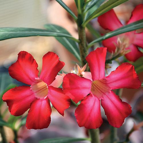 Adénium ztloustlé (Adenium obesum) je sukulentní rostlina z čeledi toješťovité, blízce příbuzná třeba dobře známému oleandru.