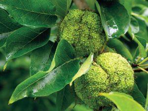 Maklura oranžová (Maclura pommifera), někdy také označovaná jako pomerančovka nebo jako jablkovitá, je příbuzná s moruší.