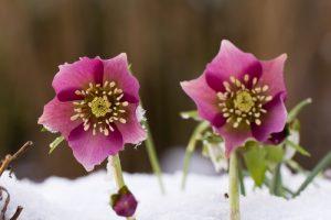Čemeřice patří mezi první průkopníky sněhové peřiny.