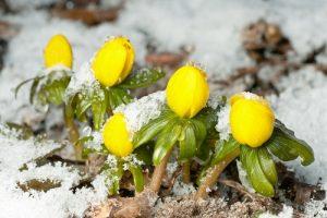 V zimě rozkvétají také zástupci cibulnatých rostlin. Dobrou práci odvedou sněženky nebo třeba talovíny.