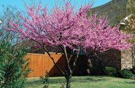 Zmarliky rozkvétají před olistěním, intenzivní barva květů tak ještě více vynikne.