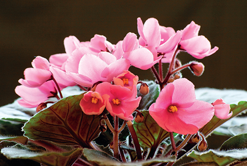 Nekvetoucí pokojové rostliny vůbec nehnojte.