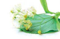 Sušené lipové květy jsou také ceněnou surovinou pro léčivé čaje.