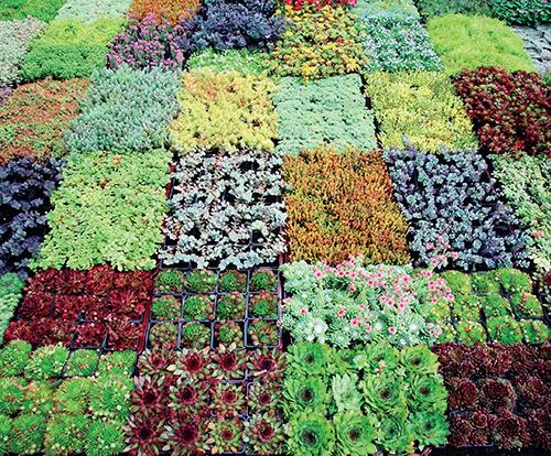 Zahradnické školky nabízejí rostliny určené přímo pro střešní zahrady.