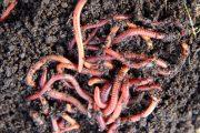 Kromě klasického kompostu můžete vyzkoušet také vermikompost.