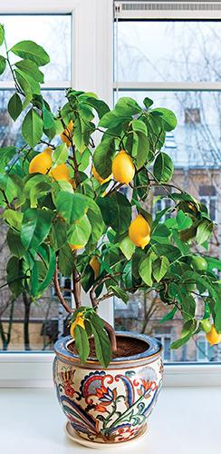 Zkušený citrusář své miláčky hýčká a rostliny pěstuje téměř na profesionální úrovni.
