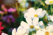 Vybírejte nenáročné letničky, jako jsou třeba krásenky, hrachory a slunečnice.