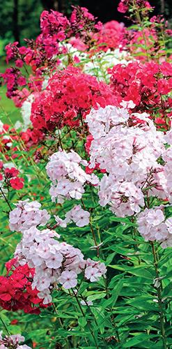 Vysoké plamenky se mohou stát základem pro trvalkový záhon. Kvetou řadu týdnů a nejhezčí jsou ve směsi odrůd různých barev i výšek.