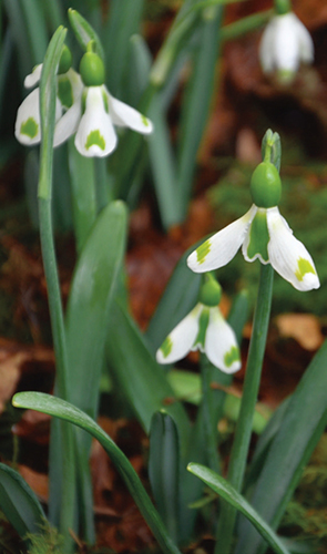 Galanthus 'The Wizzard'