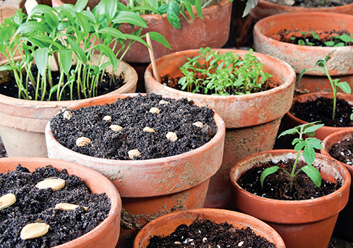 Některé druhy rostlin se pro domácí předpěstování sazenic z nejrůznějších důvodů nehodí.
