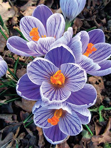 První jarní kvítky mají zvláštní kouzlo a potěší mnohem více než třeba první růže nebo mečíky.