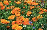 Měsíček lékařský (Calendula officinalis) patří k nejznámějším bylinkám.