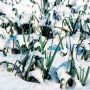 Pór je skromná mrazuvzdorná zelenina, která může zůstat na záhonu až do jara.