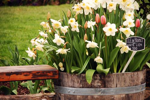 Velikosti a typu nádoby přizpůsobte výběr cibulovin. Narcisům a tulipánům můžete dopřát i poměrně velké nádoby.