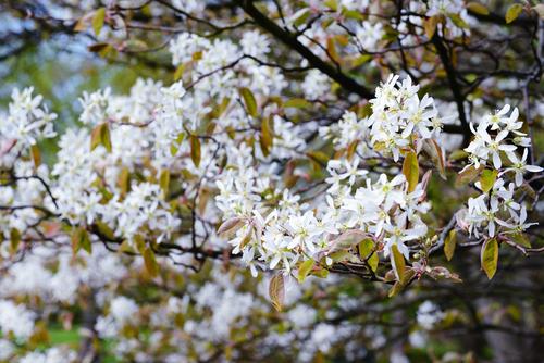 Bílé květy nejsou jedinou předností krásného muchovníku.