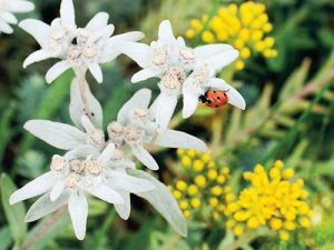 Typické květy protěže alpské jsou tvořené skupinkou drobných žlutých úborů.