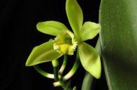 Málokdo si umí představit, že jsou vanilkové lusky plodem popínavé orchideje.