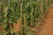 Pěstování vanilky na tropických plantážích.