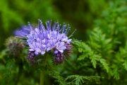 Svazenka vratičolistá patří mezi osvědčené druhy zeleného hnojení.