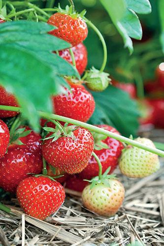 Místo fólie je možné k jahodníkům použít slámu. Není tak účinná proti plevelům, ale jahody jsou na ní čisté a suché.