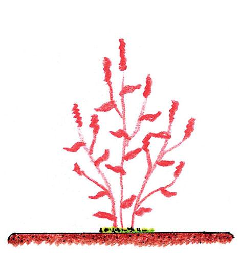 Řez trvalek – druhy s odumírajícími nadzemními orgány