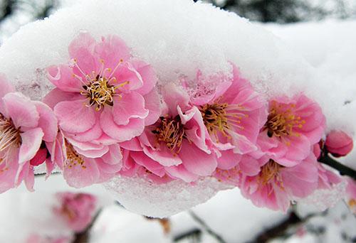 Květy sakur, meruněk, slivoní, broskvoní či mandloní patří k největším ozdobám jara.