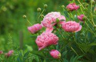 Paeonia lactiflora ´Lady Anna´