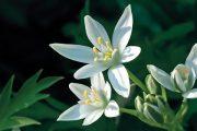 Hroznovitá bílá květenství dorůstají do výšky asi 30 centimetrů a rozkvétají koncem jara.